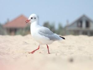 Postal: Gaviota caminando sobre la arena de una playa