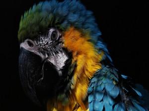 Las plumas coloridas de un loro