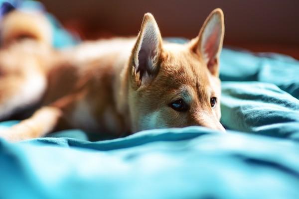 Perro tumbado sobre una manta azul
