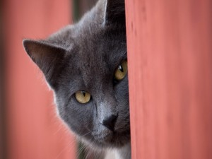 Gato gris asomando la cabeza
