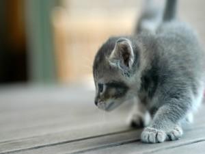 Gatito caminando en un suelo de madera