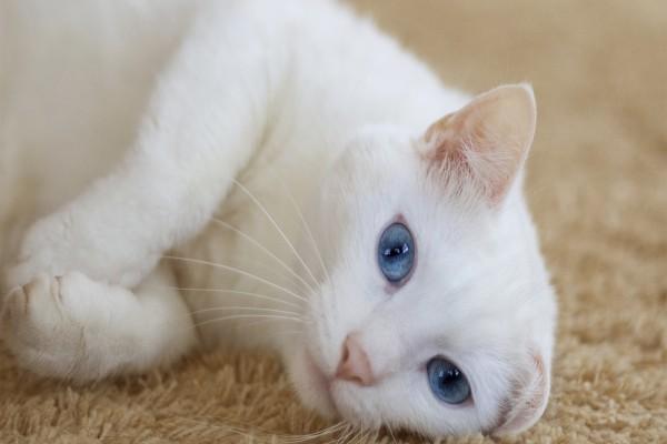 Un lindo gato blanco tumbado en una alfombra