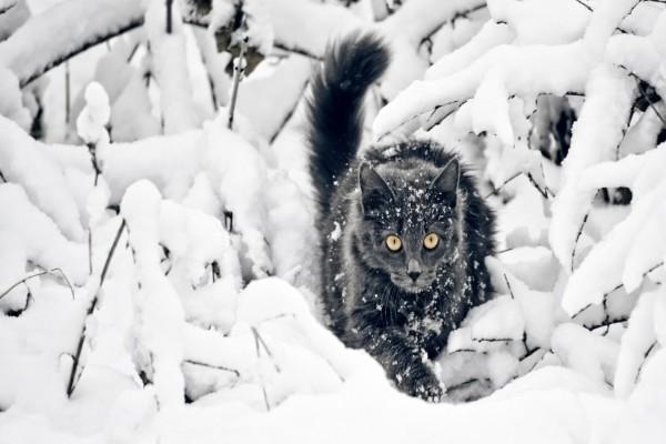 Un gato oscuro caminando sobre la nieve