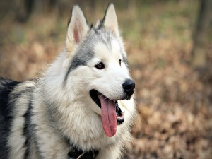 Postal: Un hermoso husky con la lengua fuera