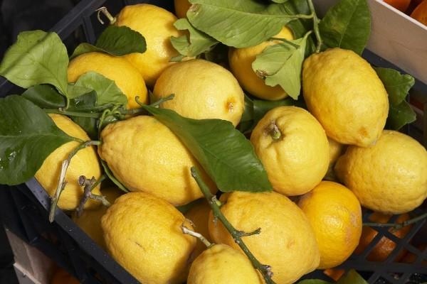Limones recién cortados del árbol