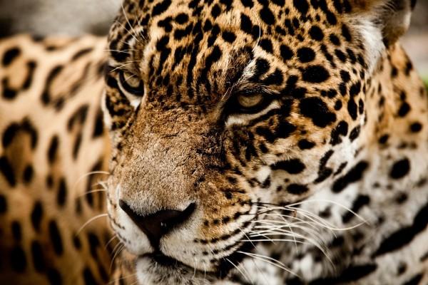 Un jaguar descansando