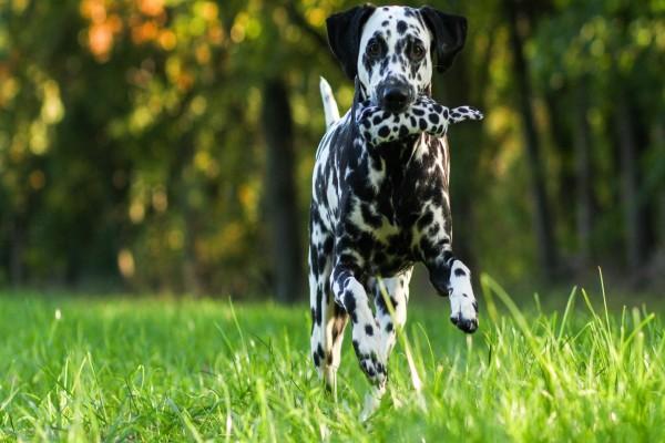 Un dálmata corriendo sobre la hierba