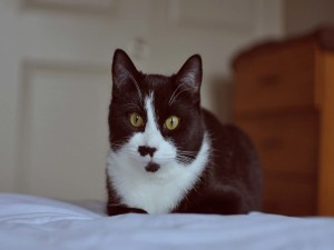Gato blanco y negro sobre una cama