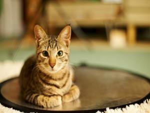 Postal: Un gato quieto en su alfombra