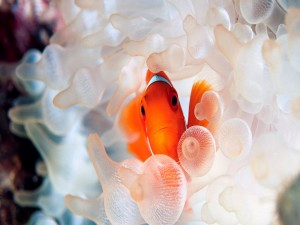 Postal: Anémona blanca dando cobijo a un pez payaso