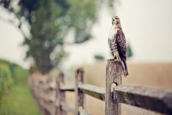 Halcón posado en una valla de madera