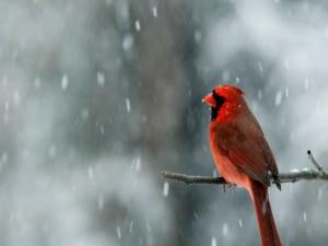 Postal: Cardenal macho bajo la nieve