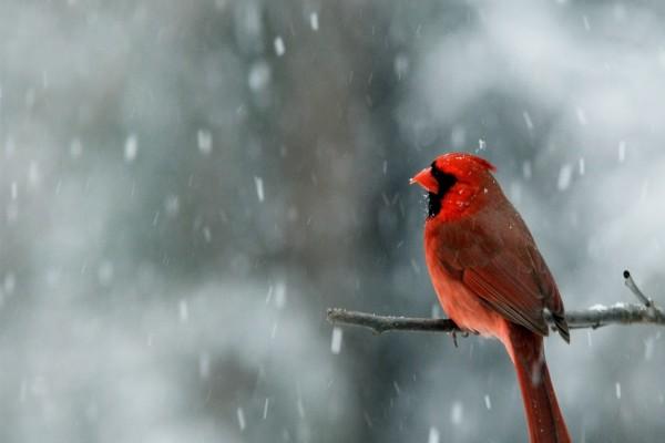 Cardenal macho bajo la nieve
