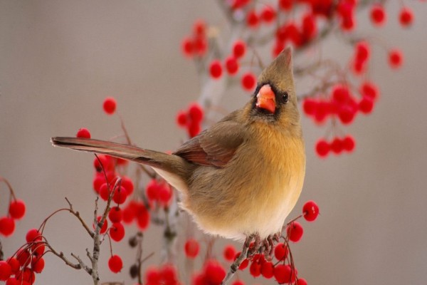 Cardenal hembra en una rama con bayas rojas