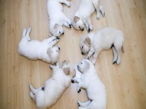 Postal: Cachorros dormidos formando un círculo