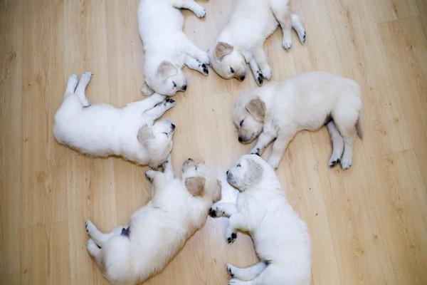 Cachorros dormidos formando un círculo