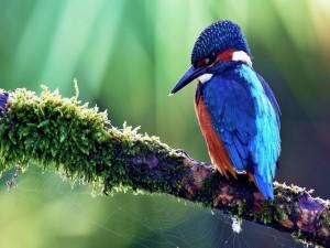 Martín pescador sobre una rama con una tela de araña