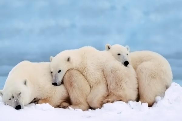 Osos polares acurrucados dándose calor