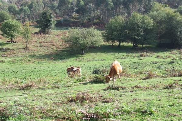 Vacas pastando en un prado asturiano