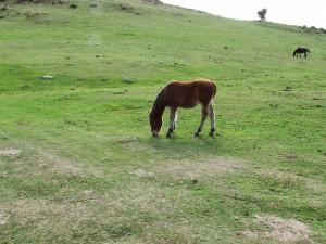 Potro pastando en la sierra del Sueve (Asturias)