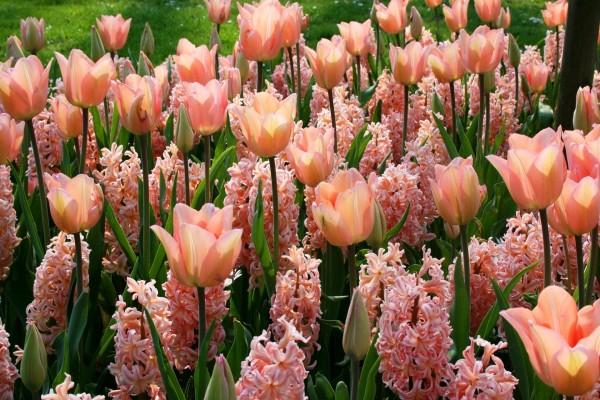 Jacinto y tulipanes en un jardín