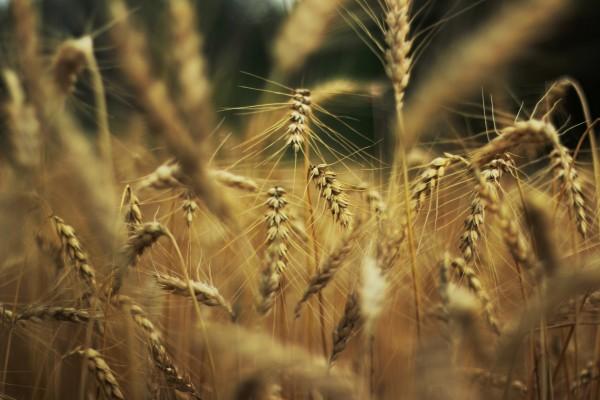 Grandes espigas de trigo