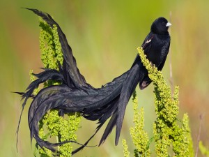 Pájaro con un largo plumaje