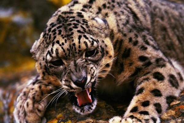 Un jaguar muy enfadado