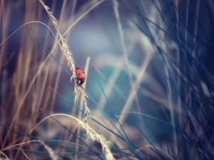Postal: Mariquita caminando por una espiga hacia una brizna de hierba