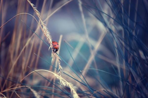 Mariquita caminando por una espiga hacia una brizna de hierba