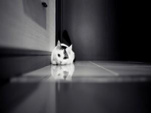 Gato doméstico reflejado en el suelo