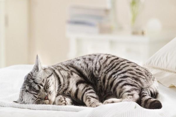 Gato gris dormido sobre una cama