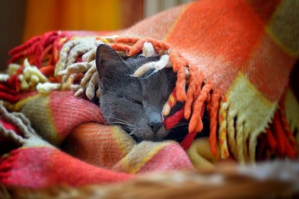Gato dormido bajo una manta