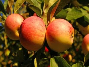 Postal: Manzanas madurando en el manzano