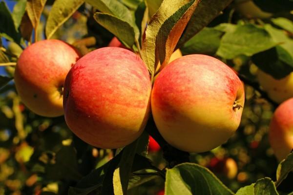 Manzanas madurando en el manzano