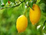 Fantásticos limones con gotitas de agua