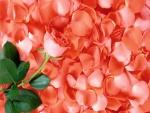 Rosa sobre varios pétalos
