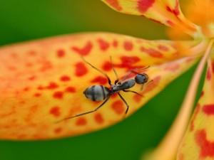 Hormiga negra en una flor amarilla