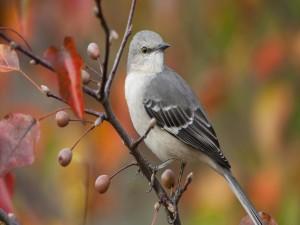 Postal: Pájaro gris en una rama otoñal