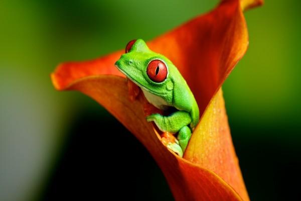Rana verde dentro de una flor