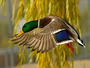 Un pato batiendo las alas
