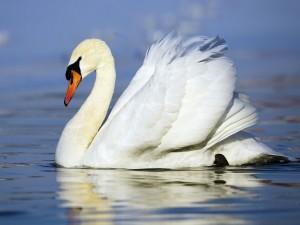 Un hermoso cisne nadando en el agua