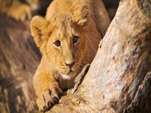Un pequeño e intrépido león