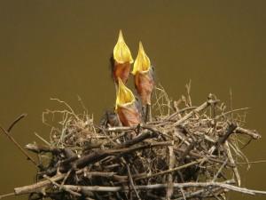 Postal: Pajaritos piando en un nido
