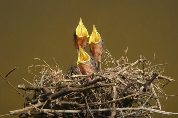 Pajaritos piando en un nido
