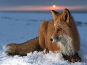 Postal: Un zorro tumbado sobre la nieve