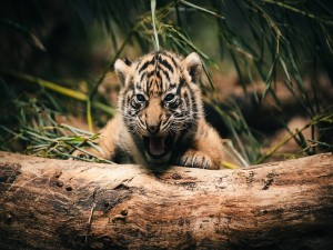 Postal: Cachorro de tigre llamando a su madre