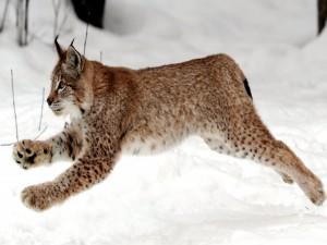 Lince saltando en la nieve