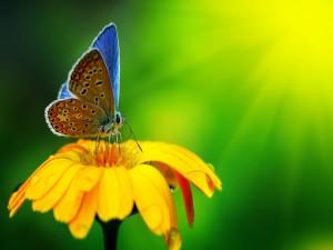 Postal: Mariposa sobre una gran flor amarilla