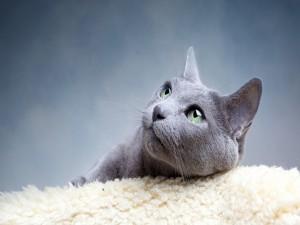 Gato gris sobre una alfombra blanca